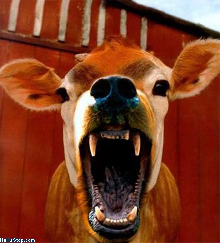 Angry Cow Disease | Life in the Boomer Lane